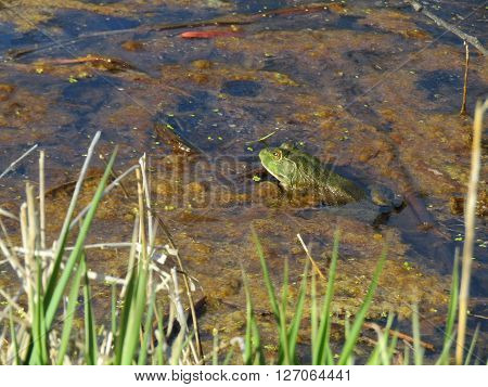 a bullfrog peaking out of the moss in a pond