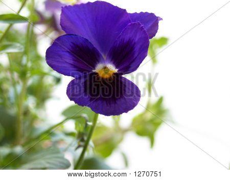 Blooming Viola