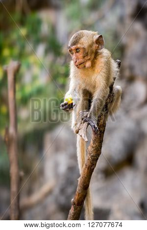 Baby Long-tailed Crab-eating Macaque On A Branch