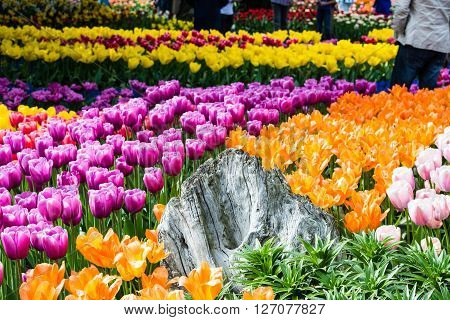 A collection of tulips growing on a tulip farm in the Skagit Valley, Washington state