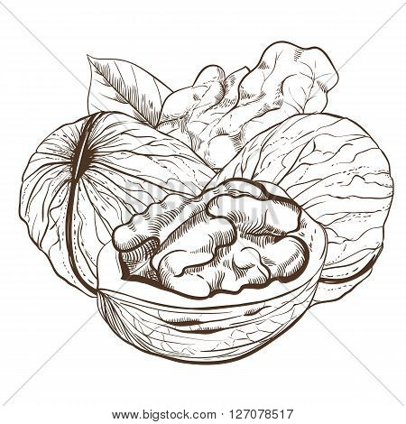 Walnut vector isolated on white background. Walnut seeds. Engraved vector illustration of leaves and nuts of walnut. Walnut in vintage style.