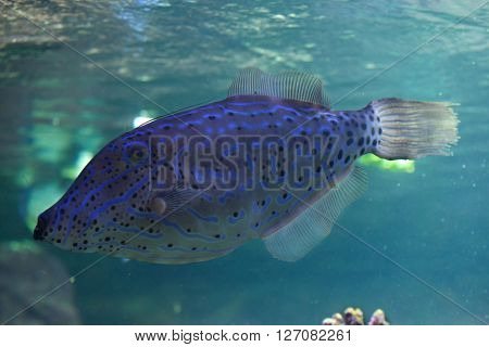 Scribbled leatherjacket filefish (Aluterus scriptus). Wild life animal.