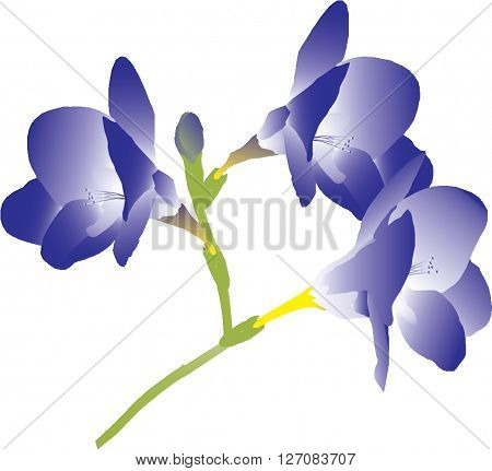 branch with purple flowers freesia illustration vector