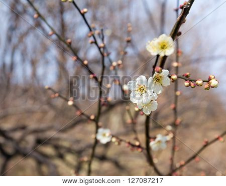 Blossoming plum flowers