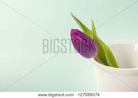 Spring tulips on blue background