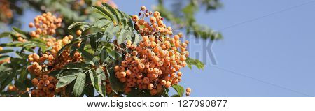 image of many ashberry at dry sunny day