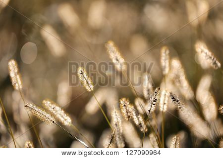 Morning light is filtering through a field of wild foxtail weed grass during an Autumn Sunrise.