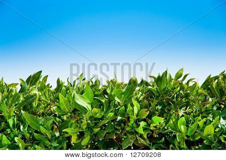 A Bustle in your Hedge-grow