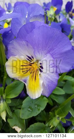 Viola tricolor . Pansy flowers in the spring time
