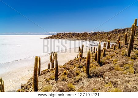 Cactus forest at Incahuasi Island in the Uyuni Salt Desert Bolivia