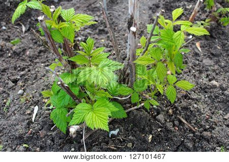 Green shoots of raspberries in early spring