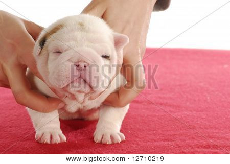 Two Week Old Puppy