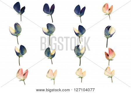 Set of pressed and dried blue pink flowers lupine isolated on white background.