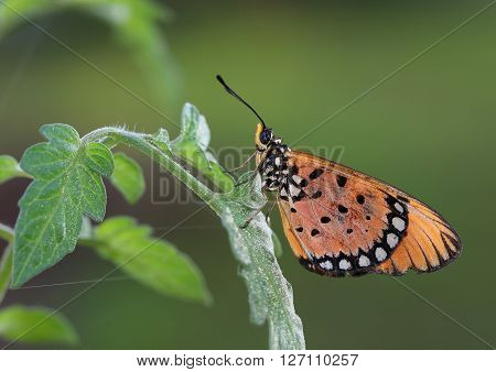Solitary common tiger butterfly resting on a branch