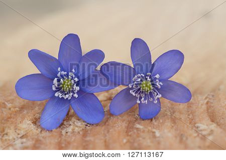 two purple liverwort blossoms on a wooden tree slice - hepatica nobilis
