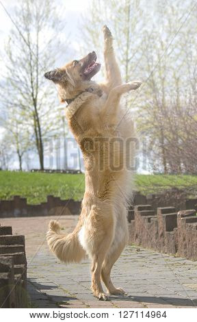 Portrait of Belgian Shepherd Tervuren -- soft focus