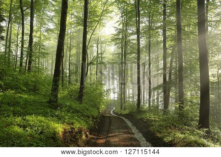 Spring beech forest after rainfall. May, Poland.