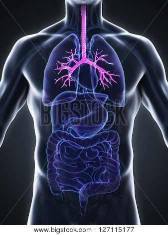 Human Bronchi Anatomy Illustration . 3D render