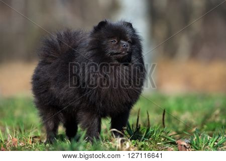 black pomeranian spitz dog outdoors in spring