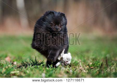 black pomeranian spitz dog outdoors in spring