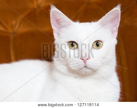 Gorgeous White Cat.
