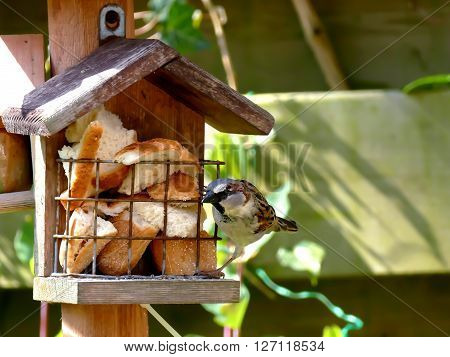 Sparrow on alert while standing on birdhouse full of bread