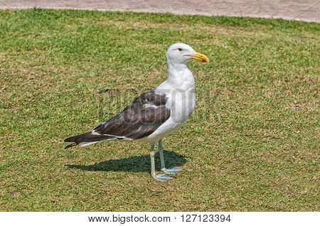 The kelp gull Larus dominicanus is a common bird along the South African coast