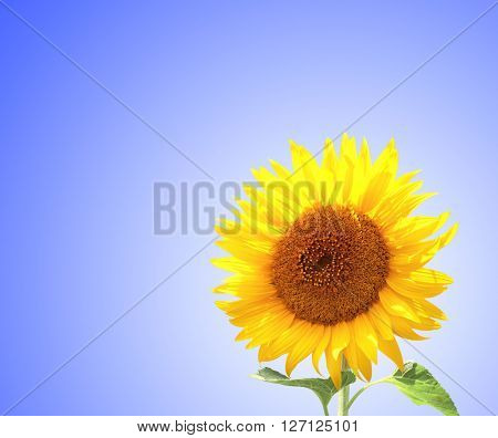 Yellow sunflower on blue sky background
