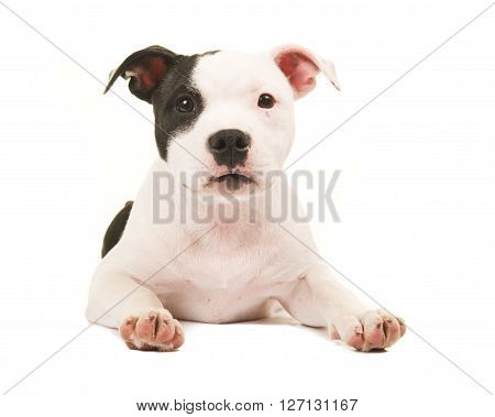 Cute black and white pit bull terrier puppy dog lying on the floor facing the camera isolated on a white background