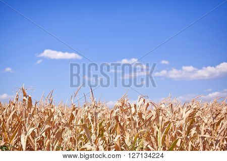Withered field of corn on background of blue sky.