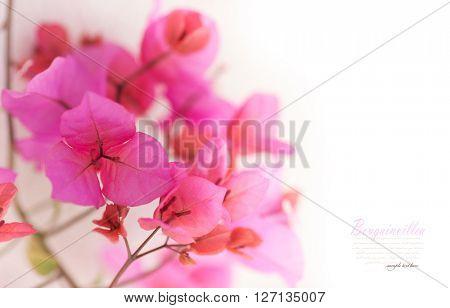 Background of beautiful bougainvillaea