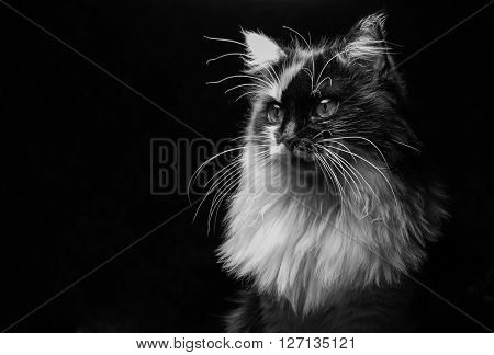 Confident cat looking out of the screen on a black background