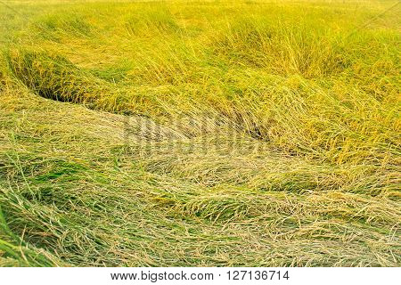 Yellow Paddy Rice Plant Falling. Spike Rice Field