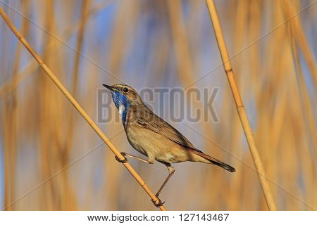 bluethroat on reed, Spring birds singing, singing bird feathers in the spring
