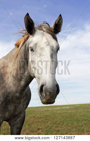 A portrait of a gray horse looking straight into the camera