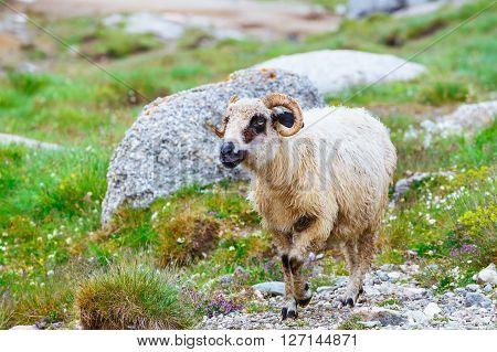 Sheep Herds At Alpine Pastures In Bucegi Mountains, Romania