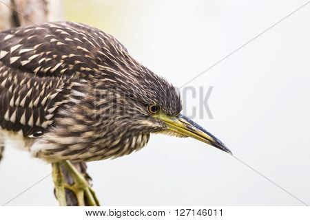 Young night heron on the branch in the nature reserve in the province of Rome in Italy