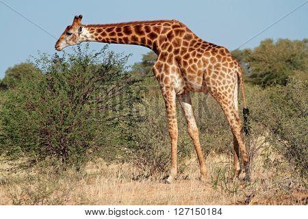 A giraffe (Giraffa camelopardalis) feeding on an Acacia tree, South Africa