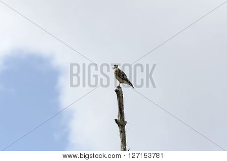 Red-shouldered Hawk peers over shoulder from top of dead tree