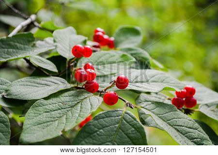 Wild red viburnum on branches with green leaves