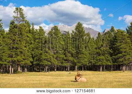 Red deer with branchy horns lies in a grass on the fringe of the forest. The deer has a rest.  Jasper National Park in the Rocky Mountains