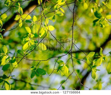 Fresh leaves of poplar tree in spring in protected forest