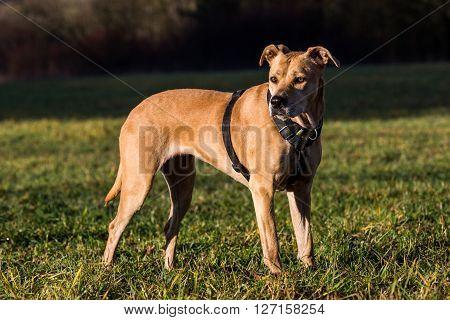 Brown Mixed Shelter Dog