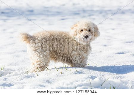 Small white poodle called Annie playing in the snow.