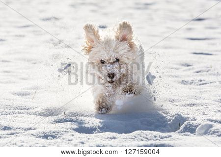 White Poodle Playing In The Snow