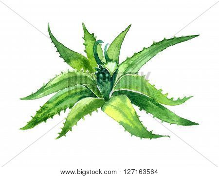 Watercolor summer insulated aloe vera on white background