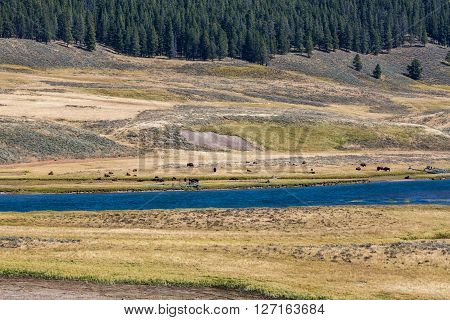View of Bisons in Yellowstone National Park
