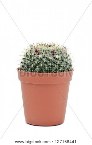 a Mammillaria spinosissim cactus with pink flowers in a brown plant pot, on a white background
