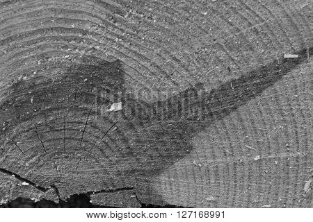 Black and white pine bark background. Tree macro texture