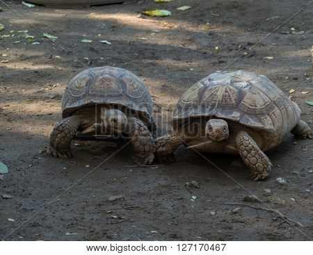Old turtles walking on the ground
